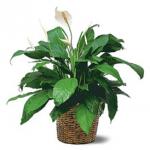 Plant 72 DPI